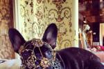 Hond van Lady Gaga mag Azië niet binnen
